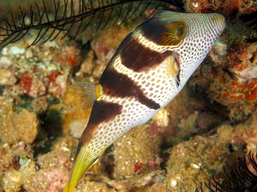Black-Saddled Toby - Canthigaster valentini - Anilao, Philippines