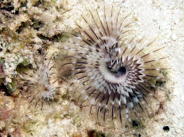 Black-Spotted Feather Duster - Branchiomma nigromaculata - Bonaire
