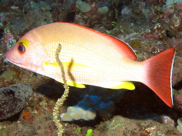 Blacktail Snapper - Lutjanus fulvus - Lanai, Hawaii