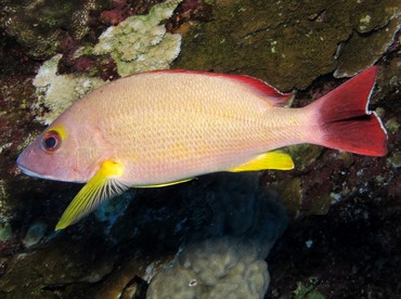 Blacktail Snapper - Lutjanus fulvus - Maui, Hawaii