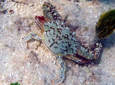 Blotched Swimming Crab - Achelous spinimanus - Isla Mujeres, Mexico