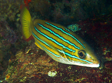 Blue and Gold Snapper - Lutjanus viridis - Cabo San Lucas, Mexico