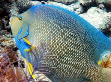 Blue Angelfish - Holacanthus bermudensis - Key Largo, Florida