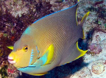 Blue Angelfish - Holacanthus bermudensis - Isla Mujeres, Mexico