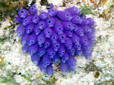 Blue Bell Tunicate - Clavelina puerto-secensis - St Thomas, USVI