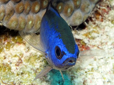 Blue Chromis - Chromis cyanea - Grand Cayman