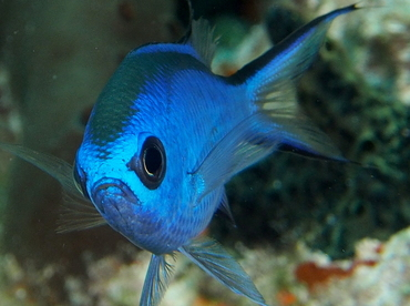 Blue Chromis - Chromis cyanea - The Exumas, Bahamas