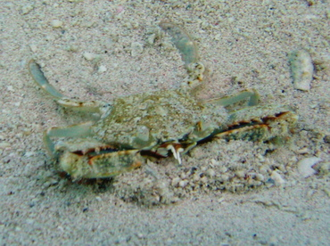 Common Blue Crab - Callinectes sapidus - Turks and Caicos
