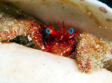 Blue-Eye Hermit Crab - Paguristes sericeus - Turks and Caicos