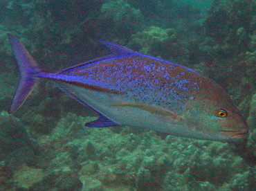 Bluefin Trevally - Caranx melampygus - Maui, Hawaii