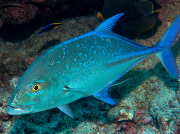 Bluefin Trevally - Caranx melampygus - Big Island, Hawaii