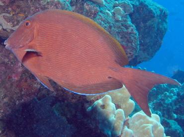 Blue-Lined Surgeonfish - Acanthurus nigroris - Lanai, Hawaii