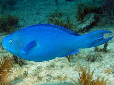 Blue Parrotfish - Scarus coeruleus - Key Largo, Florida