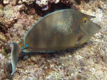 Bluespine Unicornfish - Naso unicornis - Maui, Hawaii