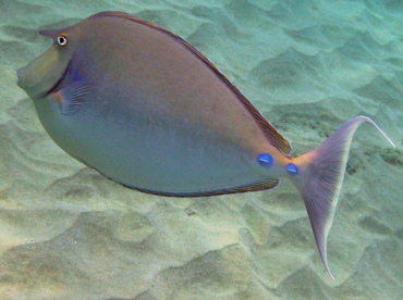 Bluespine Unicornfish - Naso unicornis - Maui, Hawaii
