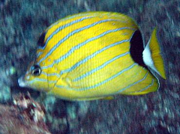 Bluestripe Butterflyfish - Chaetodon fremblii - Maui, Hawaii