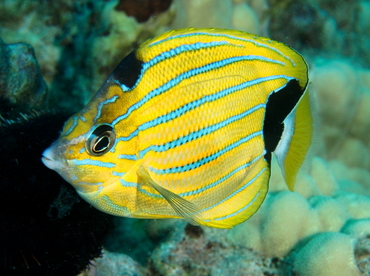 Bluestripe Butterflyfish - Chaetodon fremblii - Oahu, Hawaii