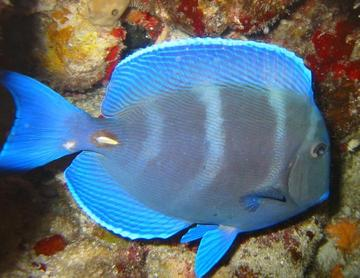 Blue Tang - Acanthurus coeruleus - Cozumel, Mexico