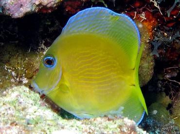 Blue Tang - Acanthurus coeruleus - Grand Cayman