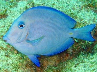 Blue Tang - Acanthurus coeruleus - Key Largo, Florida