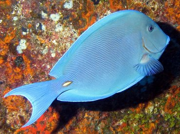 Blue Tang - Acanthurus coeruleus - Isla Mujeres, Mexico