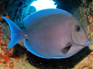 Blue Tang - Acanthurus coeruleus - Nassau, Bahamas