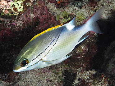 Bridled Monocle Bream - Scolopsis bilineata - Great Barrier Reef, Australia