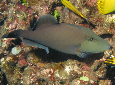 Bridled Triggerfish - Sufflamen fraenatus - Lanai, Hawaii