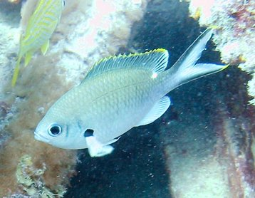 Brown Chromis - Chromis multilineata - Key Largo, Florida