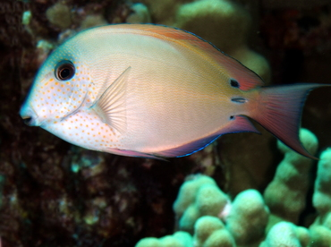 Brown Surgeonfish - Acanthurus nigrofuscus - Big Island, Hawaii