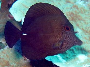 Brushtail Tang - Zebrasoma scopas - Yap, Micronesia