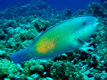 Bullethead Parrotfish - Chlorurus spilurus - Big Island, Hawaii