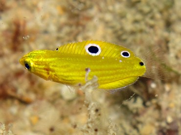 Canary Wrasse - Halichoeres chrysus - Yap, Micronesia