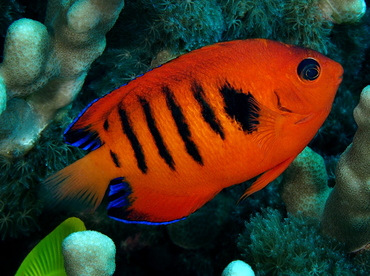 Flame Angelfish - Centropyge loriculus - Big Island, Hawaii