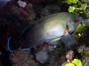 Pearl-Scaled Angelfish - Centropyge vrolikii - Bali, Indonesia