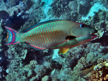 Spotted Parrotfish - Cetoscarus ocellatus - Great Barrier Reef, Australia