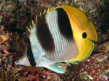 Pacific Double-Saddle Butterflyfish - Chaetodon ulietensis - Palau