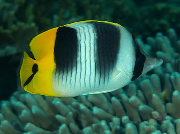 Pacific Double-Saddle Butterflyfish - Chaetodon ulietensis - Wakatobi, Indonesia