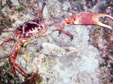 Channel Clinging Crab - Mithrax spinosissimus - Bimini, Bahamas