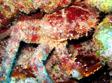 Channel Clinging Crab - Mithrax spinosissimus - Belize