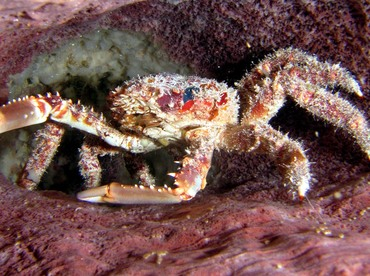 Channel Clinging Crab - Mithrax spinosissimus - Turks and Caicos