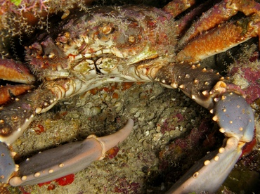 Channel Clinging Crab - Mithrax spinosissimus - Grand Cayman