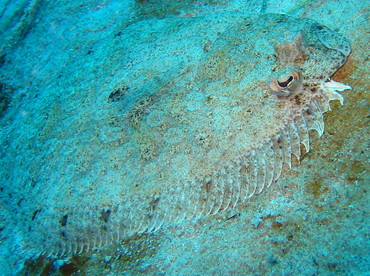 Channel Flounder - Syacium micrurum - Cozumel, Mexico