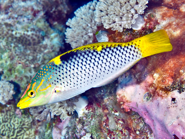 Checkerboard Wrasse - Halichoeres hortulanus - Great Barrier Reef, Australia