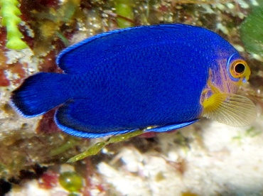 Cherubfish - Centropyge argi - Cozumel, Mexico