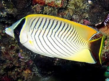Chevroned Butterflyfish - Chaetodon trifascialis - Palau