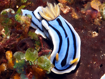 Elisabeth's Chromodoris - Chromodoris elisabethina - Anilao, Philippines