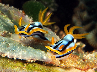 Streaked Chromodoris - Chromodoris strigata - Wakatobi, Indonesia