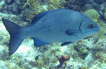 Bermuda/Gray Chub - Kyphosus sectatrix/bigibbus - Key Largo, Florida