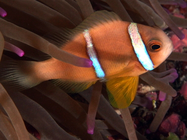 Clark's Anemonefish - Amphiprion clarkii - Palau